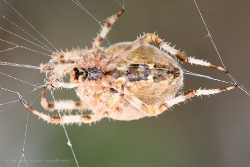 Araneus diadematus VI