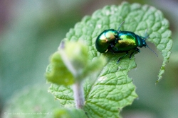 Cockchafer Mating II
