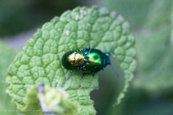 Cockchafer Mating III