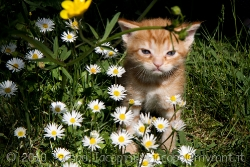 Red cat between the daisys