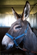 Donkey resting before the competition