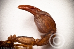 Chelae of a scorpion