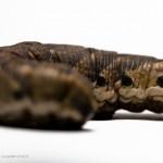 Agrius convolvuli macro photography