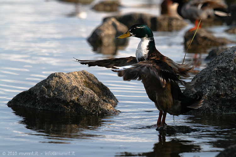 duck shower - wildlife photography