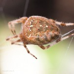 Araneus diadematus - cross spider - macro photography