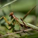 Mantis religiosa macro photography