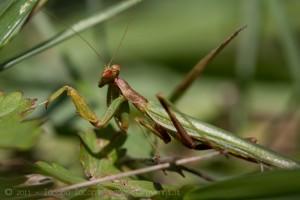 Mantis religiosa macro photography